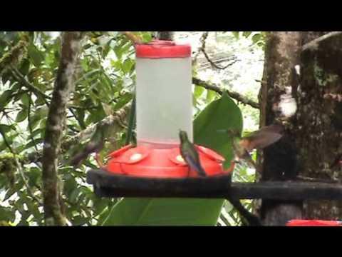 Hummingbirds at Bellavista