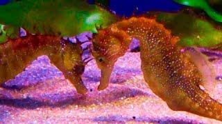 Hippocampus guttulatus (Long snouted seahorse) [HD]