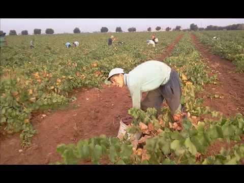 vendange 2012 Algerie region de Temouchent El maleh (ex-rio salado) – PART I-