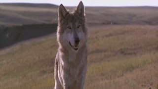 Dances with wolves - Two Socks
