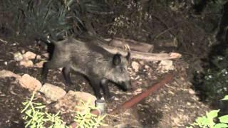 חזיר מתחת לאף