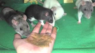 How to Tame Pet Rats