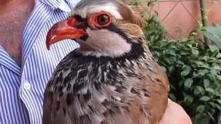 ¿Cómo cortarle el Pico a un Pájaro Perdiz? | Jilgueros&Canarios