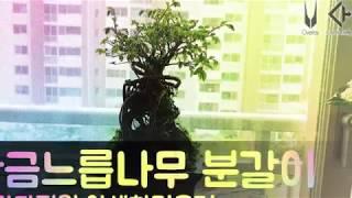 황금느릅나무 분갈이/베란다정원 야생화키우기  야생화짱~^^ #024