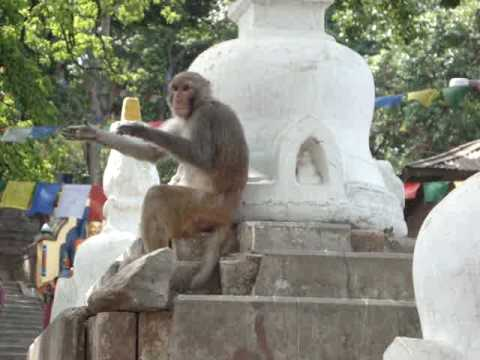 Swayambhunath 'Monkey Temple' monkey