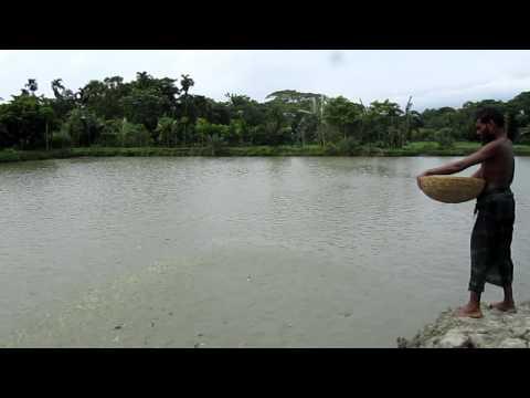 fishbreeding pond bagladesh rana ラナ4 牛将 バングラデシュのナマズ養殖池