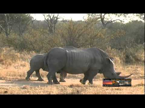 Rhinos – South Africa Travel Channel 24