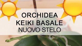 Orchidea keiki basale con nuovo stelo