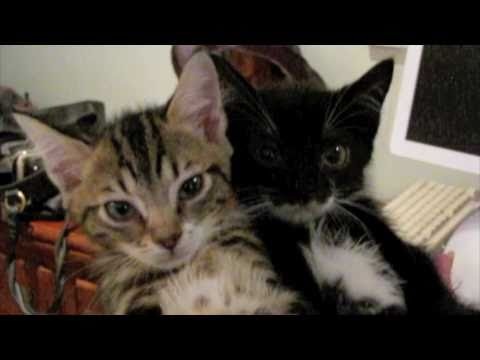 fainting goat kittens - original video