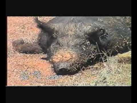 Australia My First Wild Pig Shot With A 303 Rifle At Walgett Northern New South Wales