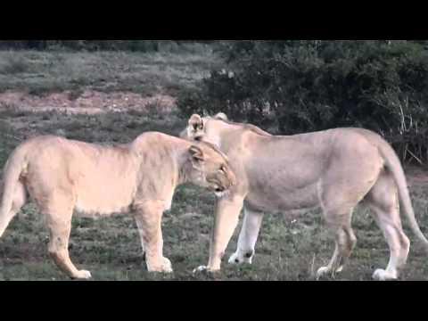 Schotia Safari – Lion Pride