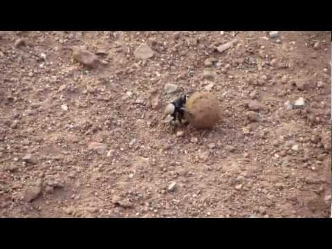 Funny Dung Beetle in SA