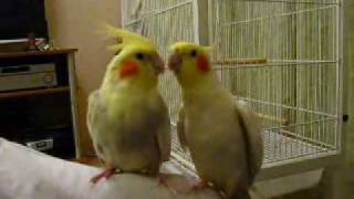 Calopsita cantando