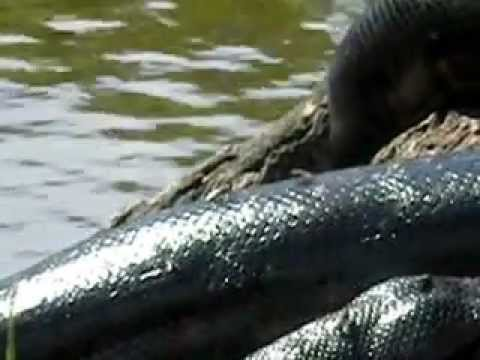 Anaconda seen in Cuyabeno reserve, Ecuador portion of Amazon rainforest