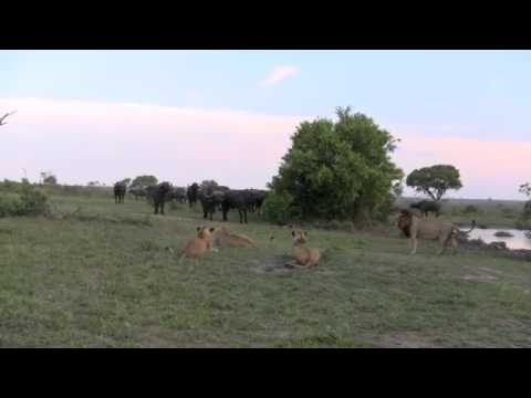 An amazing stand-off between buffalo and lion – Singita Sabi Sand