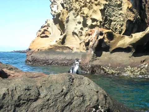 Penguins of Galapagos Islands!