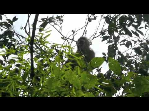 Howler Monkeys in Ecuador