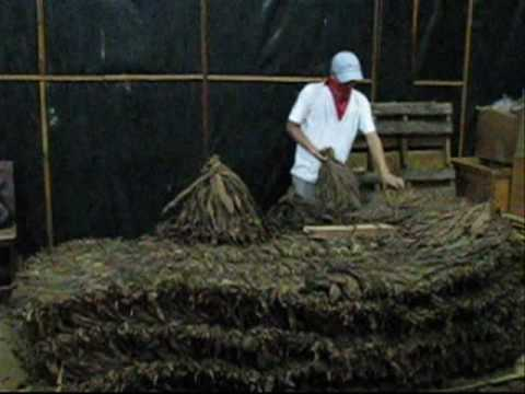 Tobacco Leaf Shaking