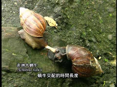 蝸蝸落地台灣陸生蝸牛簡介 中文版 - YouTube