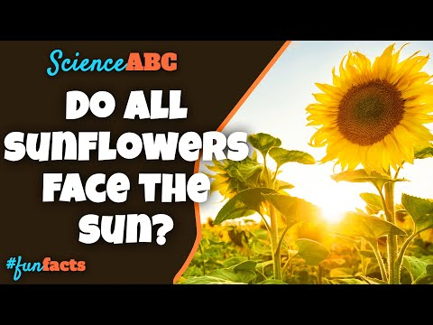 How Do Sunflowers Face The Sun?