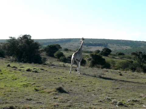 GIRAFFES, SCOTIA SAFARI, EASTERN CAPE, SOUTH AFRICA