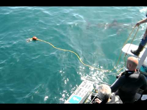 Great White Shark Cage Diving Experience