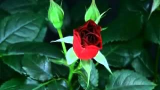 Leo Rojas - The Rose