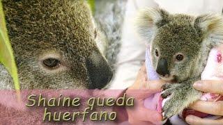 21 | Shaine el bebé koala queda huerfano