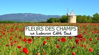 Printemps  - Fleurs des champs en Luberon Côté Sud