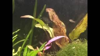New pygmy corys