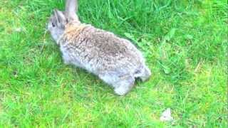 Really Cute Baby Bunny Walking Outside in Grass, Funny Pet
