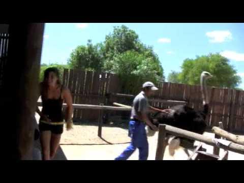 ostrich riding