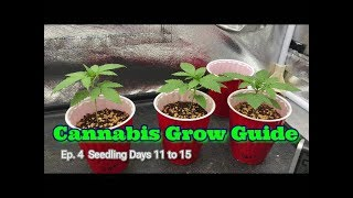 Cannabis Grow Guide Ep. 4 How To Grow Series Seedlings Days 11 Through 15.