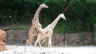 Mating Giraffes