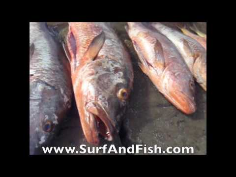 Spearing Giant Cubera Snappers in Nicaragua