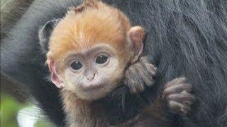 Zoo australiano salva filhote de macaco raro
