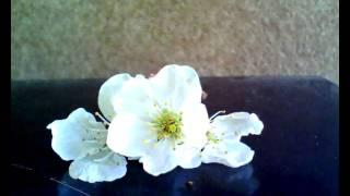 Třešňový květ na sklonku života (název vymyslela Terezka :-)