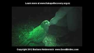 Training Sirocco the Kakapo to Redirect Sexual Behavior
