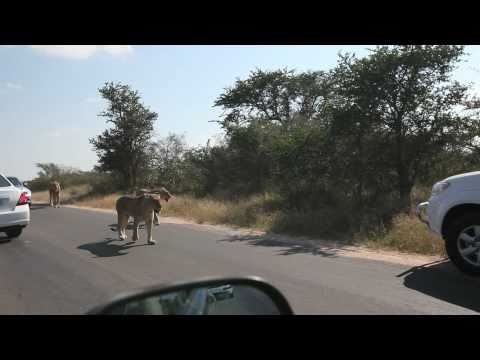 Lions on the road in the Kruger National Park