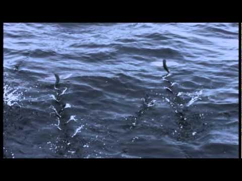 BBC Life - Flying Fish - YouTube