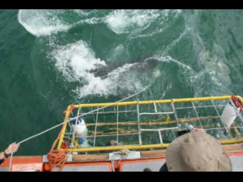 great white attacking shark cage