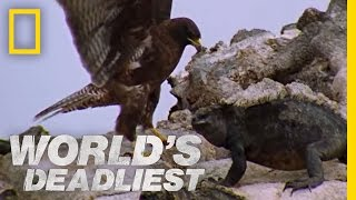 Hawk Attacks Iguana | World's Deadliest
