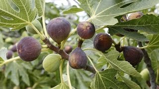 How to Grow Figs - Complete Growing Guide width=