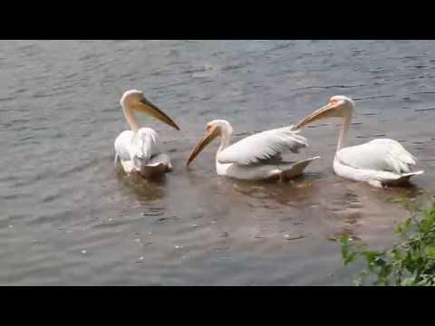 Pelicans in Dhaka Zoo