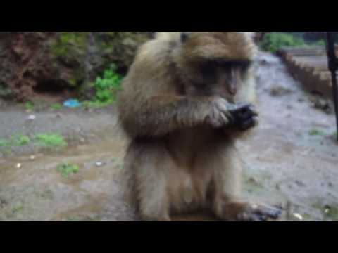 Barbary Apes At The Ouzoud Waterfall In Morocco