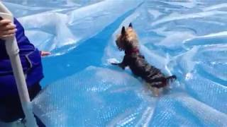 Oliver the Yorkie Dog walking on pool cover