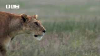 Hyena Attacks Lion & Pays the Price!