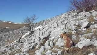 caccia in montagna con i setter