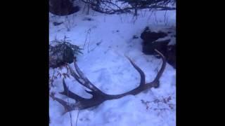 jelenie zhody - severní vítr je krutý