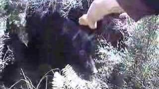 Wild boar rips injured Hunter while hog hunting with dogs